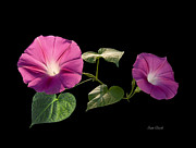 Pam Clark - Two Morning Glories