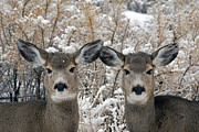 Does. Winter Prints - Two Mule Deer Does   #8712 Print by J L Woody Wooden