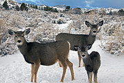 Does. Winter Prints - Two Mule Deer Does And Yearling   #8678 Print by J L Woody Wooden