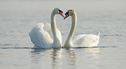 Kirk Norbury - Two Mute Swans In Love