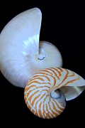 Mary Deal - Two Nautilus Shells