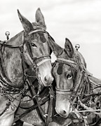 Mules Prints - Two of a Kind Print by Ron  McGinnis