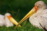 Nick  Biemans - Two Painted Storks