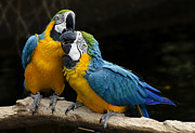 Sweet Kiss Prints - Two Parrots Squawking Print by Dave Dilli