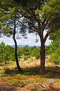 Agronomy Photo Framed Prints - Two pine trees Framed Print by Carlos Caetano