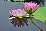 Byron Varvarigos - Two Pink Waterlilies...