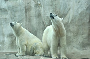 Diane Lent - Two Polar Bears in the...