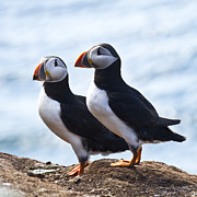 Puffins Posters - Two Puffins just Landed on Hornoya Poster by Heiko Koehrer-Wagner