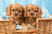 Puppies Framed Prints - Two Puppies in Woven Basket DP709 Framed Print by Greg Cuddiford