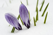 Winter Flower Photos - Two purple crocuses in spring with snow by Matthias Hauser