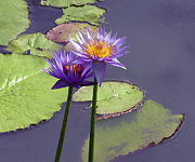 Purple And Green Photos - Two Purple Lilies by John Lautermilch