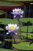 Kristin Clarke - Two Purple Water Lilies