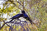 Ravens Posters - Two Ravens in a Tree Poster by Douglas Barnard