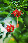 Mauritius Photos - Two Red Hibiscus by Jenny Rainbow