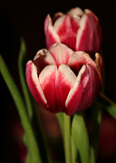 Sabrina L Ryan - Two Red Tulips