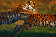 Nick  Biemans - Two running Siberian Tigers