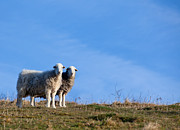 Simon Bratt Photography Acrylic Prints - Two sheep standing together Acrylic Print by Simon Bratt Photography