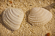 Beach Shell Sand Sea Ocean Art - Two Shells by Adam Romanowicz