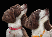 Gundog Posters - Two spaniels Poster by Linsey Williams