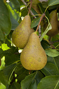 Ripe Photo Originals - Two Summer Pears by Tineke Jorritsma