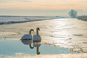 Flevoland Framed Prints - Two swans in sunlight in a frozen canal Framed Print by Jan Marijs