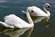 Two Swimming Swans Print by Carol Groenen
