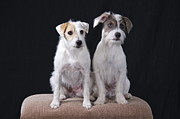 Brown Dogs Photos - Two Terriers by Sean Griffin