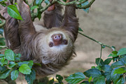Sloth Posters - Two toed sloth hanging in tree Poster by Patricia Hofmeester