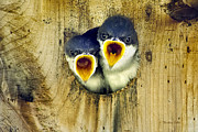Open Mouths Posters - Two Tree Swallow Chicks Poster by Christina Rollo