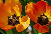 Backlit Metal Prints - Two tulips Metal Print by Elena Elisseeva