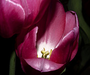 Stamen Digital Art Framed Prints - Two Tulips Touching Framed Print by Camille Lopez