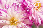 Two White And Pink Decorative Dahlias Print by Daphne Sampson