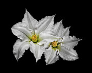 Crinkled Prints - Two White Clematis Flowers on Black Print by Jane McIlroy