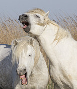 White Horses Photo Prints - Two White Stallions Yawn Print by Carol Walker