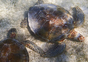 For Ninety One Days - Two Wild Sea Turtles In...
