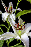 Whites Posters - Two wonderful lilies  Poster by Garry Gay