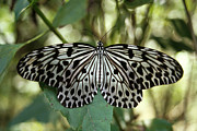 Natural Photos - UGlassy Tiger Butterfly by Anonymous