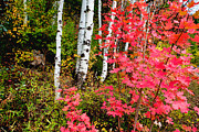 Red Leaf Prints - Uinta Colors Print by Chad Dutson