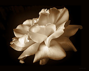 Monochromatic Metal Prints - Umber Rose Floral Petals Metal Print by Jennie Marie Schell