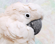 White Cockatoo Photos - Umbrella Cockatoo by Jai Johnson