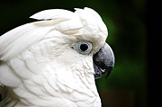 Pet Cockatoo Photos - Umbrella Cockatoo by Nicole Rodriguez
