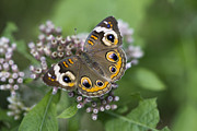 Blooms  Butterflies Framed Prints - Uncommonly Lovely Buckeye Butterfly Framed Print by Kathy Clark