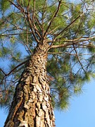 Under A Pine Tree Print by Matt Taylor