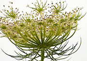 Live Art Prints - Under Queen Annes Lace Print by Christi Kraft