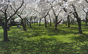 National Parks Art - Under the Cherry Blossoms - Washington DC. by Mike McGlothlen