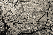 Hannes Cmarits Metal Prints - Under The Cherry Tree - Bw Metal Print by Hannes Cmarits