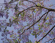 Beautiful Leaves Posters - Under the Jacaranda Tree Poster by Rona Black