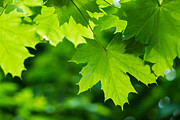 Fresh Green Posters - Under the maple leaves - Featured 2 Poster by Alexander Senin