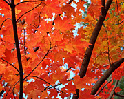 Red Maple Posters - Under the Orange Maple Tree Poster by Rona Black