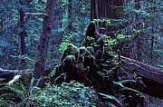 Daniel Furon - Redwoods Clan